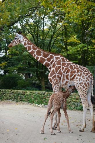 Baby giraffe breastfeeding.